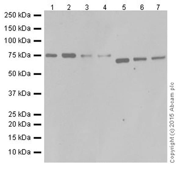 Western blot - Anti-C14orf169 / NO66 antibody [EPR18656] (ab192861)