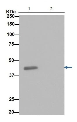 Immunoprecipitation - Anti-SNF5/SMARCB1 antibody [EPR12014-77] (ab192864)