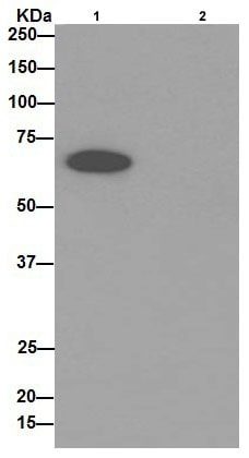 Immunoprecipitation - Anti-PGM1 antibody [EPR15241] (ab192876)