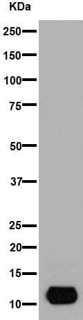 Western blot - Anti-MIP-3 beta/CCL19 antibody [EPR7044(2)] (ab192877)