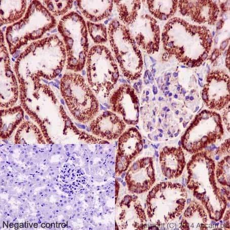 Immunohistochemistry (Formalin/PFA-fixed paraffin-embedded sections) - Anti-NDUFB8 antibody [EPR15961] (ab192878)