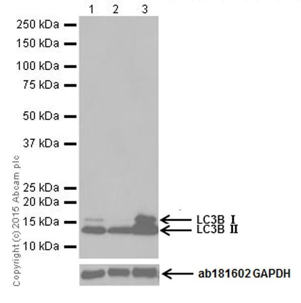 Western blot - Anti-LC3B antibody [EPR18709] - Autophagosome Marker (ab192890)
