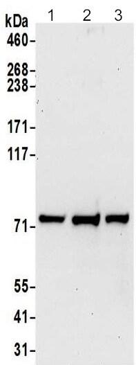 Western blot - Anti-DYNC1I2 antibody - N-terminal (ab192905)