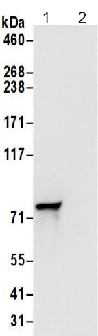 Immunoprecipitation - Anti-DYNC1I2 antibody - N-terminal (ab192905)