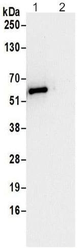 Immunoprecipitation - Anti-GORASP2/GRASP55 antibody - C-terminal (ab192910)