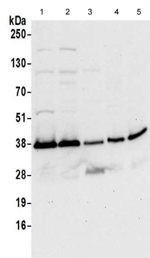Western blot - Anti-Syntaxin 7 antibody (ab192923)