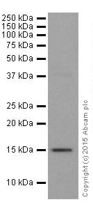 Western blot - Anti-Histone H3 (tri methyl K27) antibody [EPR18607] - ChIP Grade (ab192985)