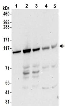 Western blot - Anti-Striatin antibody (ab193000)