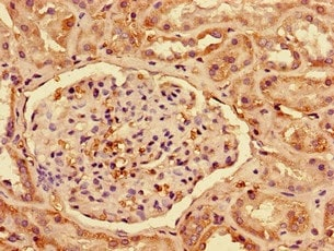 Immunohistochemistry (Formalin/PFA-fixed paraffin-embedded sections) - Anti-Interferon alpha 2 antibody (ab193055)