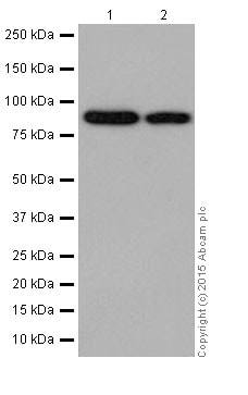 Western blot - Anti-LSD2 / AOF1 antibody [EPR18508] (ab193080)