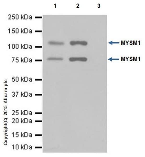 Immunoprecipitation - Anti-MYSM1 antibody [EPR18657] (ab193081)