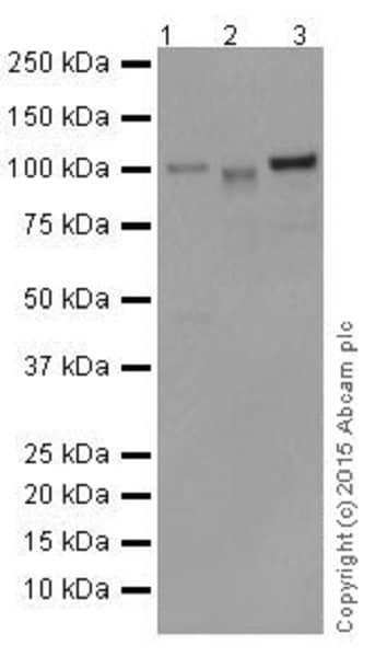 Western blot - Anti-MYSM1 antibody [EPR18657] (ab193081)