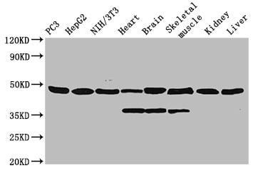 Western blot - Anti-ENO1 antibody (HRP) (ab193129)
