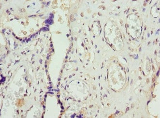 Immunohistochemistry (Formalin/PFA-fixed paraffin-embedded sections) - Anti-FCGRT/FCRN antibody - Extracellular domain (ab193148)