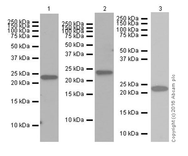 Western blot - Anti-Histone H2A (ubiquityl K119) antibody [EPR19800] (ab193203)