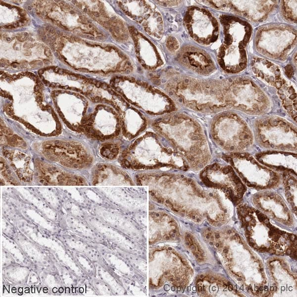 Immunohistochemistry (Formalin/PFA-fixed paraffin-embedded sections) - Anti-Cytochrome C antibody [EPR1327] (HRP) (ab193239)