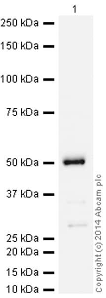 Western blot - HRP Anti-Hsp47 antibody [EPR4217] (ab193242)