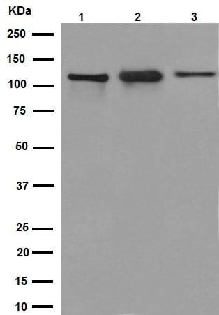 Western blot - Anti-KIF5C antibody [EPR16224-32] (ab193352)