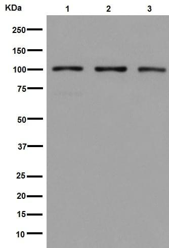 Western blot - Anti-DNA Ligase IV/LIG4 antibody [EPR16531] (ab193353)