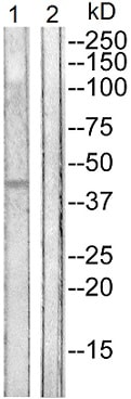 Western blot - Anti-Connexin 43 / GJA1 (phospho Y265) antibody (ab193373)