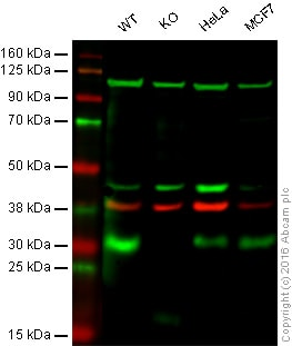 Western blot - Anti-p27 KIP 1 antibody [SX53G8] (ab193379)