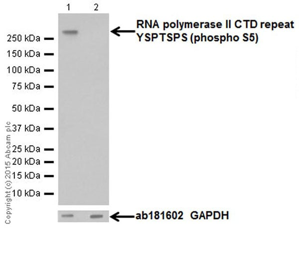 Western blot - Anti-RNA polymerase II CTD repeat YSPTSPS (phospho S5) antibody [EPR19015] (ab193467)