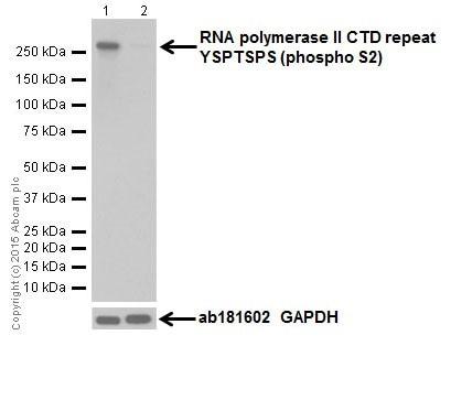 Western blot - Anti-RNA polymerase II CTD repeat YSPTSPS (phospho S2) antibody [EPR18855] (ab193468)