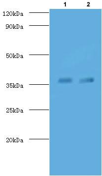 Western blot - FITC Anti-TB Ag85A antibody (ab193480)
