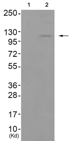 Western blot - Anti-MCK10/NEP (phospho Y513) antibody (ab193550)