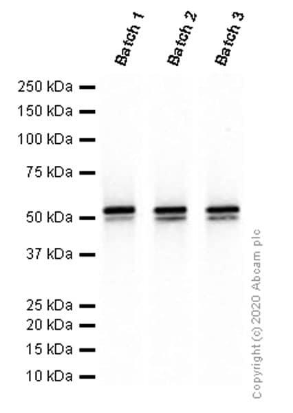 Western blot - Anti-Vimentin antibody [EPR3776] - BSA and Azide free (ab193555)