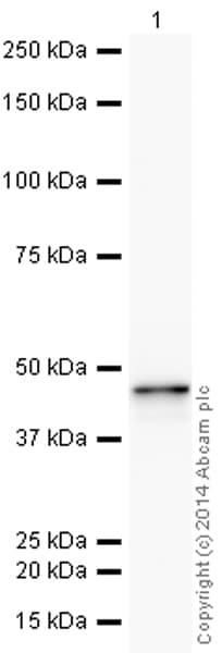 Western blot - HRP Anti-Cytokeratin 19 antibody [EP1580Y] (ab193600)