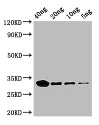 Western blot - HRP Anti-E. coli ethanolamine ammonia lyase light chain antibody (ab193626)