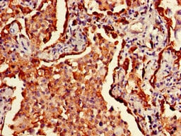 Immunohistochemistry (Formalin/PFA-fixed paraffin-embedded sections) - Biotin Anti-HLA Class II DRB1 antibody (ab193638)