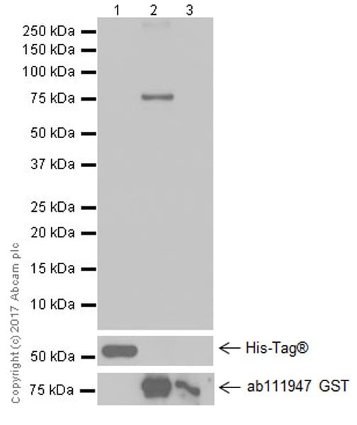 Western blot - Anti-Fibrinogen beta chain antibody [EPR19765] (ab193932)