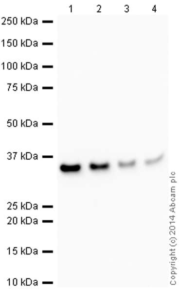 Western blot - Anti-Cdk4 antibody [EPR4513-32-7] - Loading Control (HRP) (ab193968)