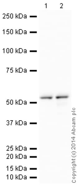 Western blot - HRP Anti-Cyclin B1 antibody [Y106] (ab193977)
