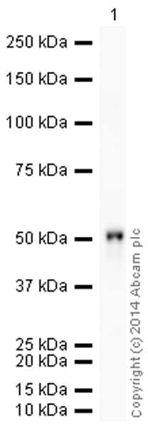 Western blot - Anti-Cytokeratin 15 antibody [EPR1614Y] (HRP) (ab194067)