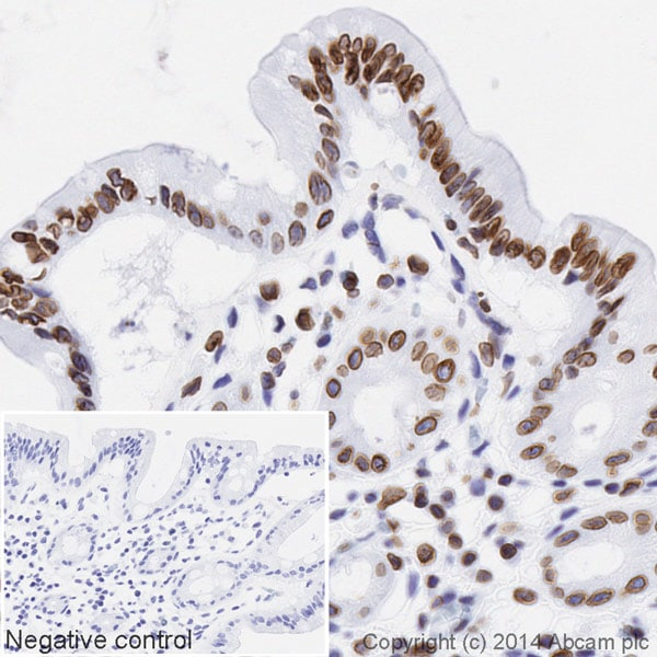 Immunohistochemistry (Formalin/PFA-fixed paraffin-embedded sections) - HRP Anti-Lamin B1 antibody [EPR8985(B)] - Nuclear Loading Control (ab194109)