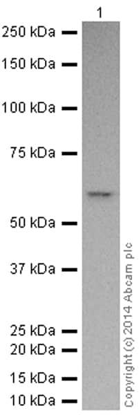 Western blot - Anti-Caspase-8 antibody [E7] (HRP) (ab194145)