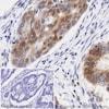 Immunohistochemistry (Formalin/PFA-fixed paraffin-embedded sections) - HRP Anti-p27 KIP 1 antibody [Y236] (ab194235)
