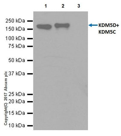 Immunoprecipitation - Anti-KDM5C / Jarid1C / SMCX + KDM5D / Jarid1D / SMCY antibody [EPR18653] - ChIP Grade (ab194288)