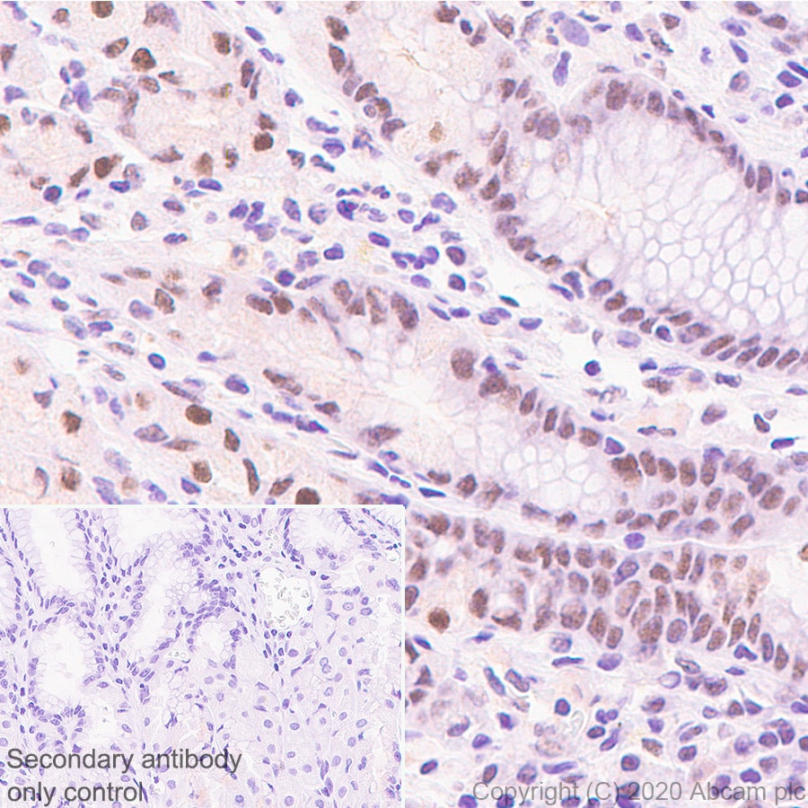 Immunohistochemistry (Formalin/PFA-fixed paraffin-embedded sections) - Anti-KDM5C / Jarid1C / SMCX + KDM5D / Jarid1D / SMCY antibody [EPR18653] - ChIP Grade (ab194288)