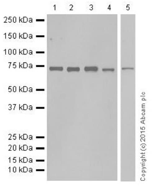 Western blot - Anti-C14orf169 / NO66 antibody [EPR18754] (ab194292)