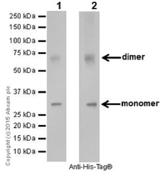 Western blot - Anti-EHMT2/G9A + EHMT1/GLP antibody [EPR18667] (ab194299)