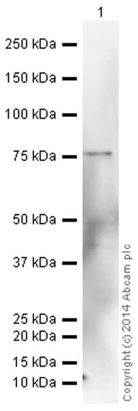 Western blot - HRP Anti-MMP9 antibody [EP1255Y] (ab194316)