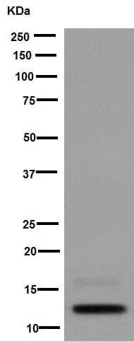 Western blot - Anti-CCL27 antibody [EPR8583(2)] (ab194354)