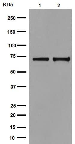 Western blot - Anti-Hsp70 antibody [EPR16893] (ab194360)