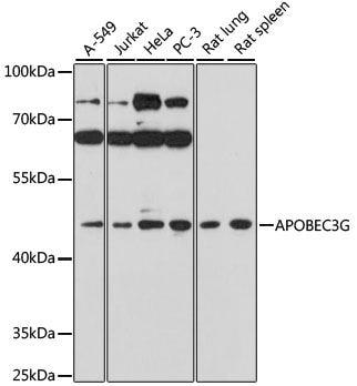 Western blot - Anti-APOBEC3G/A3G antibody (ab194581)