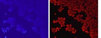 Immunocytochemistry/ Immunofluorescence - Anti-Histone H3 (methyl K79) antibody (ab194681)
