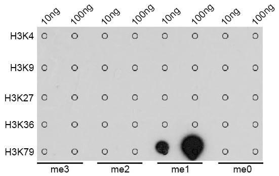 Dot Blot - Anti-Histone H3 (methyl K79) antibody (ab194681)